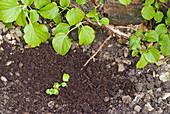 Trieb von Kletterhortensie zum bewurzeln mit Draht auf der Erde befestigt und mit Kompost bedeckt