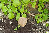 Trieb von Kletterhortensie zum bewurzeln mit Draht auf der Erde befestigt, mit Kompost bedeckt, Stein zum Beschweren