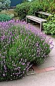 Rosafarbener Lavendel