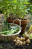 Ernte von neuen Kartoffeln und Saubohnen
