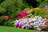 Beet mit blühenden Azaleen und Rhododendron