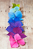 Hortensienblüten farblich aufgereiht