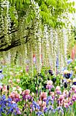 Weißer japanischer Blauregen 'Longissima Alba' über Beet mit Schwertlilien