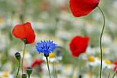 Blüten von Kornblume und Klatschmohn