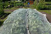 Kohlpflanzen unter Schutznetz im Gemüsegarten