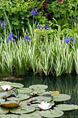 Gestreifte Schwertlilie und Seerose im Teich