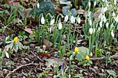 Schneeglöckchen und Winterlinge im Garten