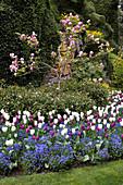 Tulpenmagnolie im Beet mit Tulpen und Vergißmeinnicht