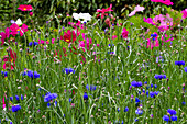 Blumenwiese mit Kornblumen und Schmuckkörbchen