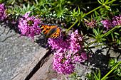 Schmetterling 'Kleiner Fuchs' auf Scheinwaldmeister