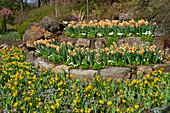 Narzissen und Tausendschön in Hanggarten mit Granitblöcken