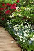 Frühlingsbeet mit Narzissen, Traubenhyazinthen und Rhododendron