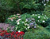 Schattenbeet mit Hortensien und Begonien