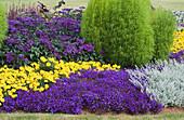 Sommerbeet mit Männertreu, Tagetes, Vanilleblume und Sommerzypresse