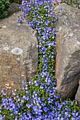 Teppich-Ehrenpreis 'Georgia Blue' zwischen Naturstein