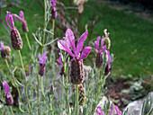 Blüten von Schopflavendel 'Papillon'