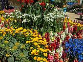 Sommerbeet mit Löwenmäulchen, Mädchenauge, Milchstern, Rittersporn und Sonnenblumen