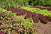 Verschiedenen Salat-Sorten im Gemüsegarten