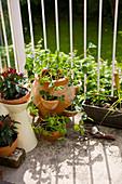 Erdbeerpflanzen im Erdbeertopf und Chili auf dem Balkon