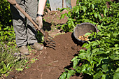 Frühkartoffel 'Lady Christl' ernten