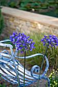 Blaue Blüten einer Schmucklilie