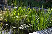 Teich mit Sumpfschwertlilie, Seerose und Hechtkraut