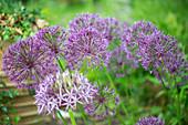 Zierlauch 'Purple Sensation'
