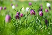 Schachbrettblumen im Rasen