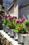 Tulpen und Hornveilchen in Zinktöpfen aufgereiht