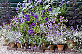 Topf-Arrangement mit Petunien, Greiskraut, Fächerblumen und Strukturpflanzen
