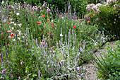 Naturgarten : Wollziest, Klatschmohn, Storchschnabel, Malven und Glockenblumen