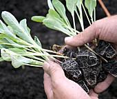 Jungpflanzen von Brokkoli 'Calabrese'