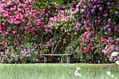 Bank vor blühenden Rhododendron