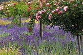 Lavendel unter Hochstamm-Rosen