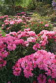 Rhododendron 'Wally Miller'