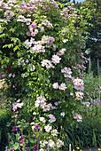 Rosenbogen mit Ramblerrosen 'Tea Rambler' und 'Lykkefund'