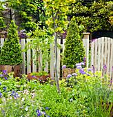 Töpfe mit Buchs in Kegel-Form geschnitten am Gartenzaun