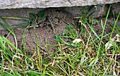 Ameisenbau im Garten
