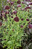Garten-Skabiose 'Chile Black'