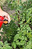 Tomatenpflanze düngen