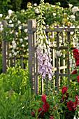 Fingerhut mit pastellfarbenen Blüten
