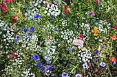 Blumenwiese mit Kornblumen, Mohn und Wiesenkerbel