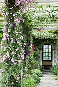 Ramblerrosen 'Debutante' und 'Sander's White' an Pergola - Laubengang
