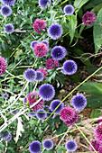 Kugelige Blüten von Kugeldistel 'Taplow Blue' und Kugellauch