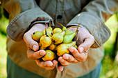 Hände halten frisch geerntete Birnen