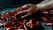 A cook checking chili peppers with their hands