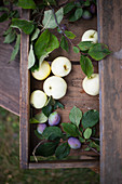 Apples and damsons on a wooden table in a garden