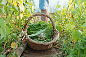 Side view crop legs of human near hamper with green vegetable on land between plants