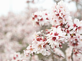 Flowering almond springs