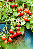 Traffic light tomatoes 'raspberry rose' in a tub